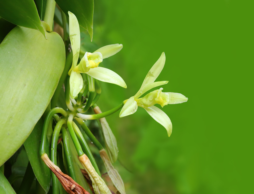 Closeup of The Vanilla flower on plantation. Agriculture in tropical climate. Picture with space for your text.